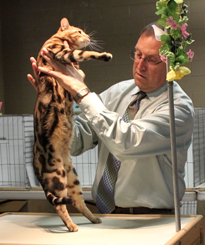 Showing your Bengal